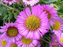 Purpurrote Blume Lizenzfreie Stockfotografie