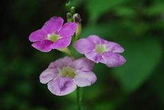Purpurrote Blume Stockfotos