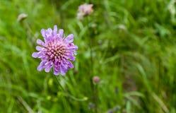 Purpurrote Blume Stockbild
