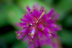 Purpurrote Blume Stockfoto