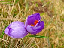 Purpurrote Blume Stockfotos