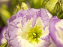 Purpurrote Blume, Abschluss herauf Ansicht Lizenzfreie Stockbilder