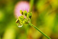 Purpurrote Blume auf dem Tau lizenzfreie stockbilder