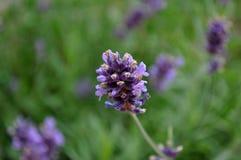 Purpurrote Blume auf einem grünen Hintergrund stockbild