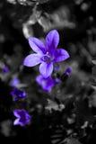Purpurrote Blume auf einem Schwarzweiss-Hintergrund stockfoto