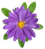 Purpurrote Blume auf einem weißen Hintergrund Lizenzfreies Stockbild