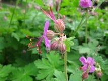 Purpurrote Blume auf grünem Blatthintergrund Stockfoto