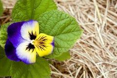 Purpurrote Blume auf Strohhintergrund Lizenzfreie Stockbilder