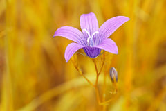 purpurrote Blume auf undeutlichem gelbem Hintergrund Stockfotos