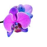 Purpurrote Blume auf weißem Backgound Stockfotografie
