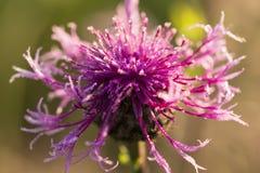 Purpurrote Blume bedeckt mit Tautröpfchen Stockfotos