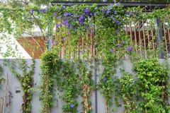 Purpurrote Blume der grünen Kriechpflanze auf Wand Stockfotografie