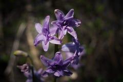 Purpurrote Blume der Hyazinthe in Form eines Sternes Lizenzfreie Stockfotos