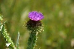 Purpurrote Blume der Klette im Spinnennetz, grüner Hintergrund stockbilder