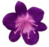 Purpurrote Blume der Lilie, lokalisiert mit Beschneidungspfad, auf einem weißen Hintergrund hellrosa Stempel, Staubgefässe Rosa M Lizenzfreie Stockfotos
