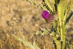 Purpurrote Blume der Wolldistel (Onopordum acanthium) Stockbild