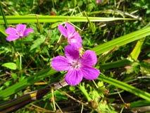 Purpurrote Blume des Feldes im grünen Gras Lizenzfreies Stockfoto
