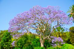 Purpurrote Blume des schönen Jacaranda, die in einer Frühlings-Saison an botanischem Garten Sydneys blüht stockfotografie