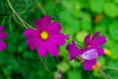 Purpurrote Blume, die von einer Anlage blüht Stockbild