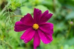 Purpurrote Blume, die von einer Anlage blüht Lizenzfreie Stockfotos