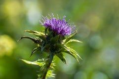 Purpurrote Blume, Dorn in der Natur lizenzfreie stockfotografie