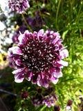 Purpurrote Blume: Draufsicht Lizenzfreies Stockfoto