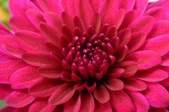 Purpurrote Blume für Hintergrund oder Beschaffenheit Stockfotografie