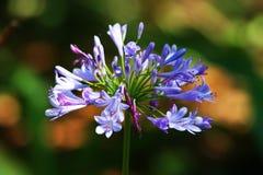 Purpurrote Blume gegen grünes Laub Stockfoto
