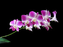 Purpurrote Blume getrennt Lizenzfreies Stockbild