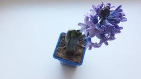 Purpurrote Blume Hyazinthe auf Tabelle Ansicht von oben stock video footage