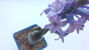 Purpurrote Blume Hyazinthe auf Tabelle Ansicht von oben stock video