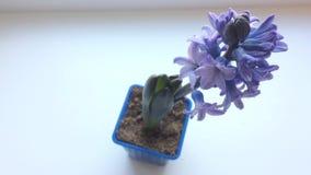 Purpurrote Blume Hyazinthe auf Tabelle Ansicht von oben stock footage