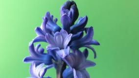 Purpurrote Blume Hyazinthe auf Tabelle Grüner Hintergrund stock footage