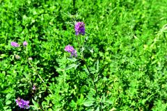 Purpurrote Blume im grünen Wachstum auf den Gebieten Lizenzfreie Stockfotos