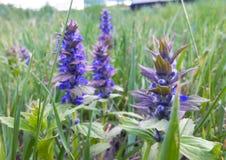 Purpurrote Blume im Gras einer Sommerwolke an einem bewölkten Tag Stockfotos