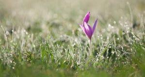 Purpurrote Blume im Morgentau Stockfotos