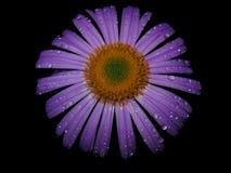 Purpurrote Blume im Tau Lizenzfreie Stockfotos