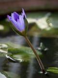 Purpurrote Blume im Wasser Stockbild