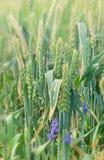 Purpurrote Blume im Weizen Stockfotos