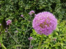 Purpurrote Blume in Irland stockbilder