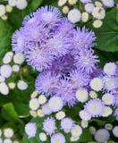 Purpurrote Blume/Kraut mit Blättern Garten, Natur Lizenzfreies Stockfoto