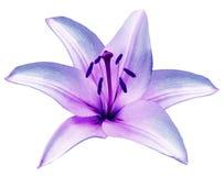 Purpurrote Blume Lilie auf lokalisiertem weißem Hintergrund mit Beschneidungspfad nahaufnahme Schöne weiß-violette Blume für Desi Lizenzfreies Stockbild