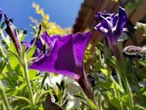 Purpurrote Blume in meinem Garten Stockfotos