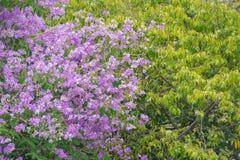Purpurrote Blume mit einem Laubbaum im Wald Lizenzfreie Stockbilder