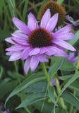 Purpurrote Blume mit einem ungewöhnlichen Herzen Stockbilder