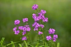 Purpurrote Blume mit grünem Hintergrund Stockfotos