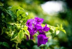 Purpurrote Blume mit grünen Blättern Lizenzfreies Stockfoto