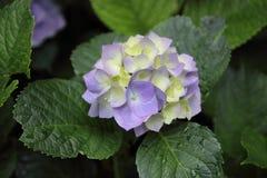 Purpurrote Blume mit grünen Blättern Stockfoto