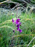 Purpurrote Blume mit needlegrass Lizenzfreies Stockbild