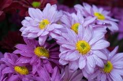 purpurrote Blume mit Tau Stockbild